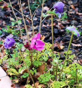 Anemones blooming in the middle of winter