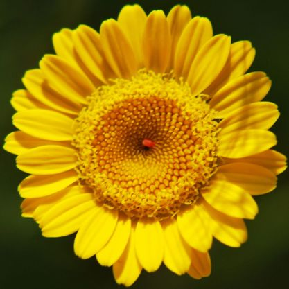 Yellow chamomile flower with a red spider right in the centre