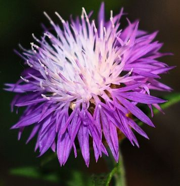 Knapweed (also known as Centaury)